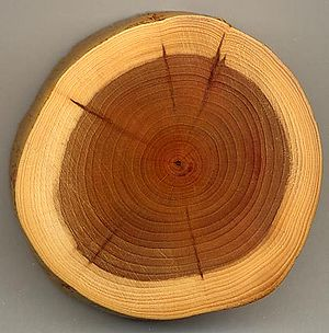 Taxus Wood