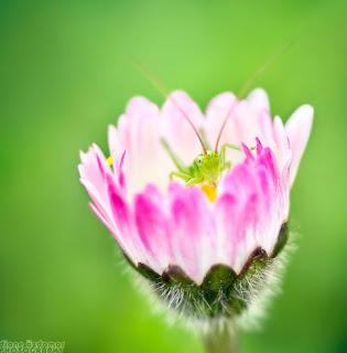 Criquet Flowers